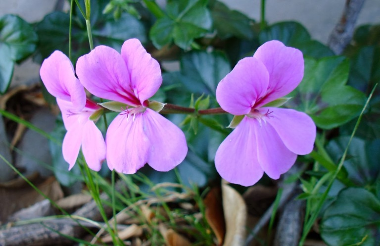 This particular geranium was from my mom's patio.
