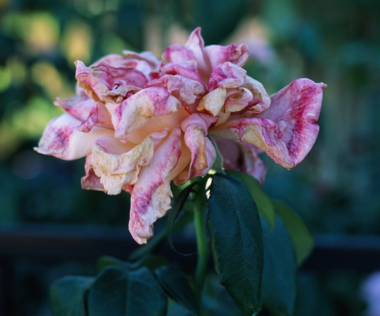 I love the colors of this faded rose.  On my screen the are very rich.