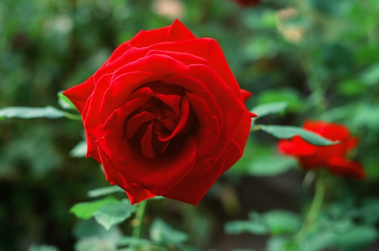 In addition to the rich red color on the rose, look at that bokeh.