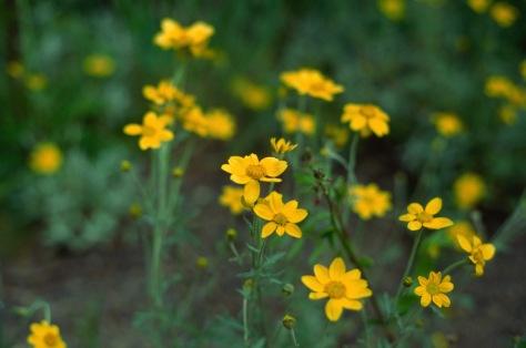 Flowers on hill WA Velvia 50